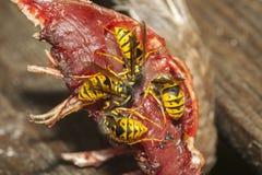 共同的黄蜂 免版税库存照片