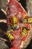 共同的黄蜂 免版税图库摄影