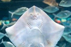 共同的黄貂鱼,海猫(拉特 Dasyatis pastinaca) 图库摄影