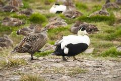 共同的绒鸭夫妇在北极,斯瓦尔巴特群岛 免版税图库摄影