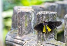 共同的Birdwing蝴蝶在庭院里 图库摄影