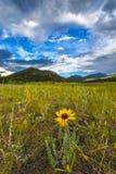 共同的Blanketflower天人菊属植物aristata科罗拉多 免版税库存图片