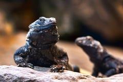 共同的Chuckwalla (大型蜥蜴ater) 免版税库存照片