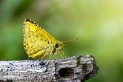 共同的dartlet蝴蝶& x28的图象; Oriens gola穆尔, 1877& x29; 库存照片