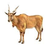 共同的eland,非洲羚羊类羚羊属,羚羊在非洲 库存图片