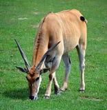 共同的eland, 库存图片
