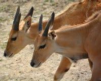 共同的eland 免版税库存照片
