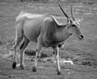 共同的eland 免版税库存图片
