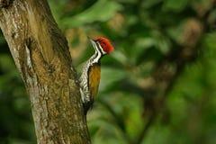 共同的Flameback - Dinopium javanense -或Goldenback是在家庭啄木鸟科的一只鸟,在孟加拉国,文莱,柬埔寨,奇恩角发现了 图库摄影