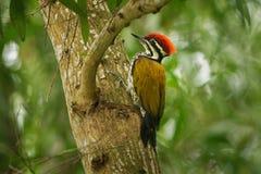 共同的Flameback - Dinopium javanense -或Goldenback是在家庭啄木鸟科的一只鸟,在孟加拉国,文莱,柬埔寨,奇恩角发现了 免版税库存图片