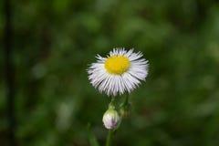 共同的fleabane野花绽放和芽 库存图片