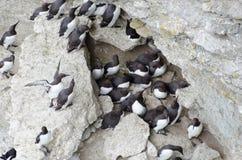 共同的murre或共同的海雀科的鸟-大海雀 免版税库存图片