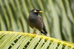 共同的myna (Acridotherestristis)鸟在普拉兰岛海岛,塞舌尔群岛 免版税库存图片