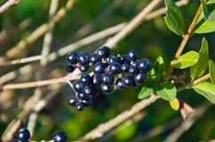 共同的privet女贞vulgare的莓果秋天的 免版税库存照片