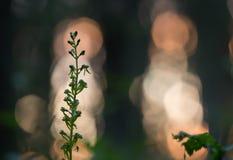 共同的twayblade, Neottia ovata在微明下 免版税库存图片