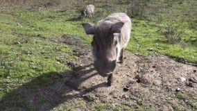共同的warthog吃在地面上的草 股票视频