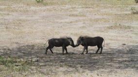 共同的warthog非洲野猪属africanus 股票录像