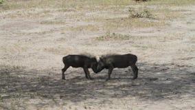 共同的warthog非洲野猪属africanus 股票视频