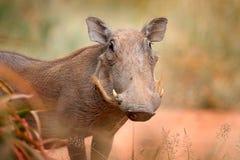 共同的warthog,与象牙的棕色野生猪 动物特写镜头细节在自然栖所 在非洲徒步旅行队的野生生物自然,克鲁格N 图库摄影