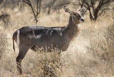 共同的waterbuck,水羚属ellipsiprymnus充分的身体外形画象,在北肯尼亚大草原风景与高草和ac 库存照片