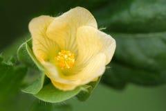 共同的Wireweed (热带半灌木ulmifolia,锦葵科) 免版税库存图片
