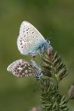 共同蓝色蝴蝶联接 免版税库存照片