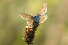 共同蓝色(Polyommatus艾卡罗计)休息 库存图片