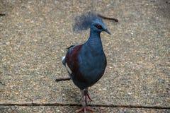 共同被加冠的鸽子在泰国动物园里 免版税图库摄影