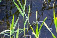 共同青蛙蛙属temporaria联接,亦称欧洲共同的青蛙、欧洲共同的棕色青蛙或者欧洲草f 免版税库存图片
