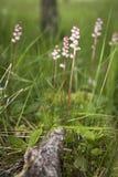 共同Wintergreen或Pyrola较小在苏格兰高地 库存照片