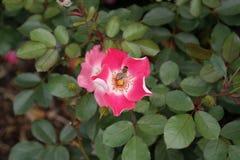 共生玫瑰和蜂 库存照片