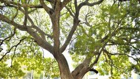 关于千位年的老结构树 免版税库存照片