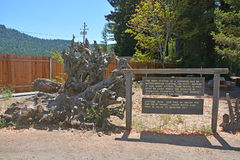 关于红木根系统的事实 图库摄影