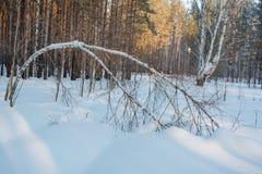 关于豪华的树 在树雪,冬天寒冷 库存照片