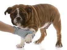 关心兽医 免版税库存图片