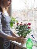 关心对玫瑰在冬天 清洗室内植物叶子  库存图片