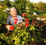 关心对玫瑰的成熟人在庭院里 免版税库存照片