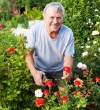 关心对玫瑰的成熟人在庭院里 免版税图库摄影