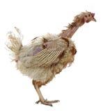 关进笼子种田母鸡 免版税库存照片