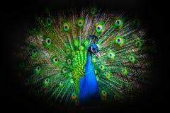 关闭一个公孔雀的画象与他的在黑背景的传说充分地展开的羽毛的  免版税库存图片