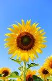 关闭一个向日葵 免版税图库摄影
