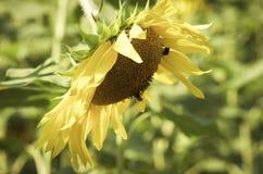 关闭一个夏天向日葵的图象与蜂的 免版税库存照片