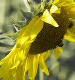 关闭一个夏天向日葵的图象与蜂的 图库摄影