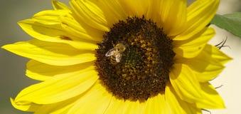关闭一个夏天向日葵的图象与蜂的 库存照片