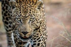 关闭一个大男性豹子头 免版税库存照片