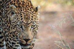 关闭一个大男性豹子头 图库摄影