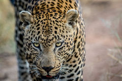 关闭一个大男性豹子头 免版税图库摄影