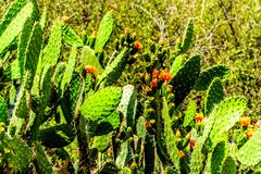 关闭一个开花的仙人掌在西开普省省的小的南部非洲的干旱台地高原地区 库存图片