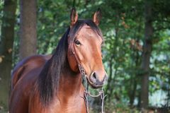关闭一个棕色短距离冲刺的马头 库存照片
