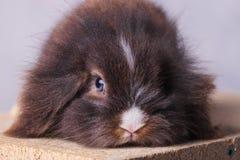 关闭一个毛茸的狮子头兔子兔宝宝的图片 库存照片